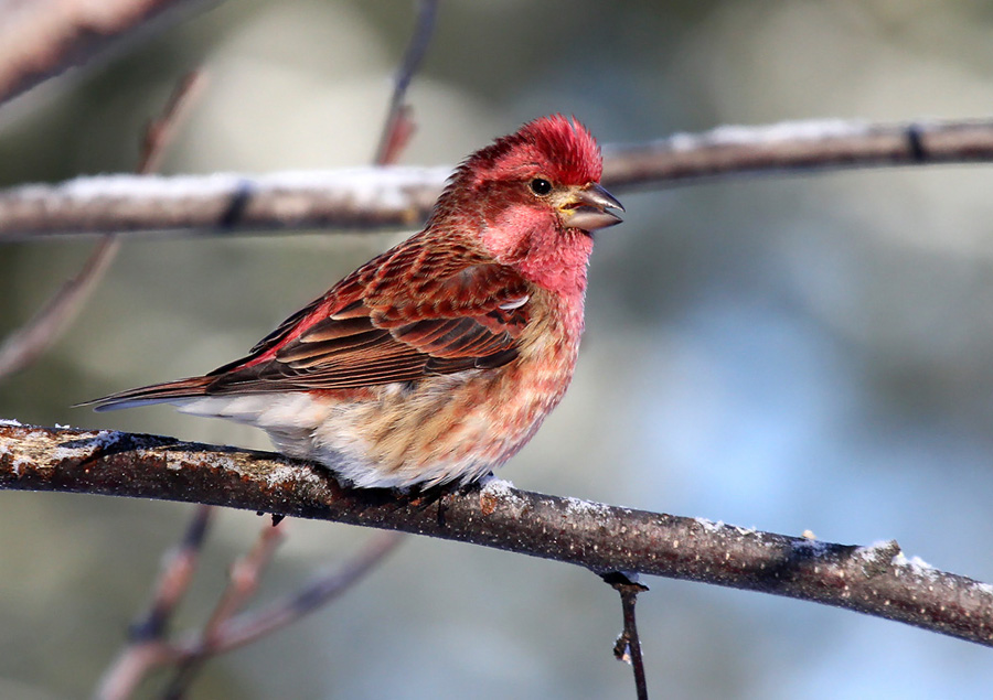 Purple finches, like this brightly-colored male, are one of many species you can attract to your backyard with a good bird feeding station this winter.  - Photo credit: Ryan Brady