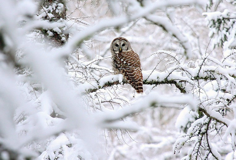 Barred Owl  - Photo credit: Ryan Brady