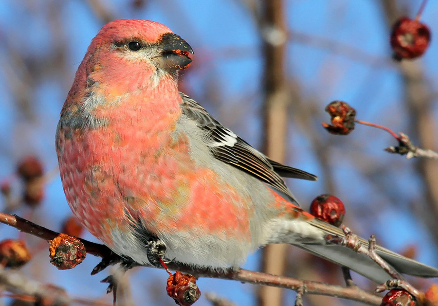Now's a good time to check crabapples and other fruit sources for pine grosbeaks and Bohemian waxwings in the north, as well as American robins, cedar waxwings, and other frugivores statewide.  - Photo credit: Ryan Brady
