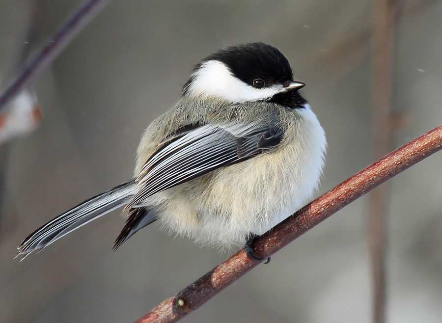 Black-capped chickadee - Photo credit: Ryan Brady