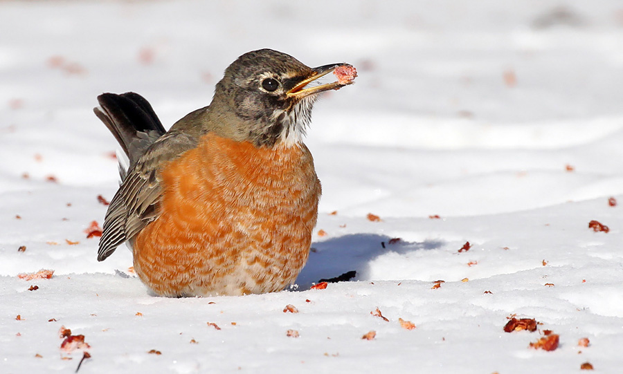 Did you know that some American robins overwinter in Wisconsin every year, even as far north as Lake Superior? They are typically found near pockets of open, moving water and fruit sources, like this tasty morsel of frozen crabapple. Photo from Bayfield County this weekend. - Photo credit: Ryan Brady