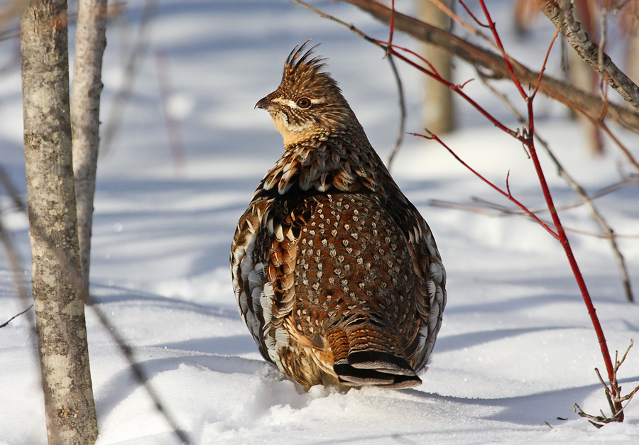 Deep snow this week across much of their Wisconsin range spells good news for ruffed grouse. Grouse burrow and roost in the light, fluffy powder to stay warm and steer clear of avian predators, thus increasing their winter survival.  - Photo credit: Ryan Brady