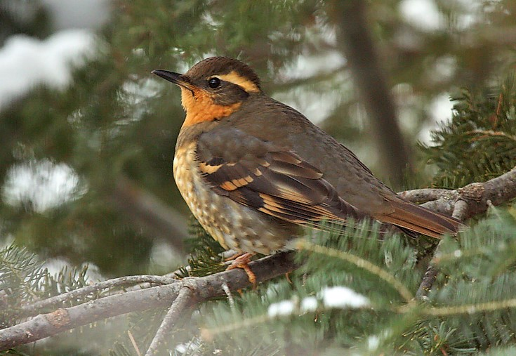 Although the robin-like varied thrush typically resides west of the Rockies from Alaska to California, a handful or two show up in Wisconsin each winter where they are typically seen at fruit sources or backyard feeders with cracked corn or sunflower seeds, often with nearby stands of evergreen trees.  - Photo credit: Ryan Brady