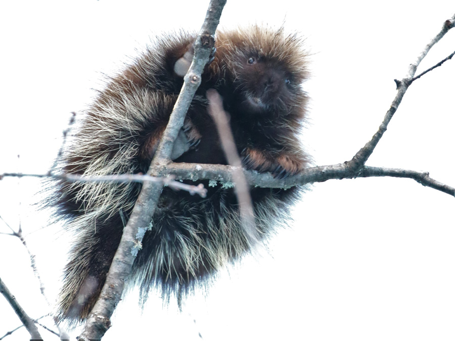 A porcupine out eating way up in a tree on one of the super cold days near Woodruff - Photo credit: DNR
