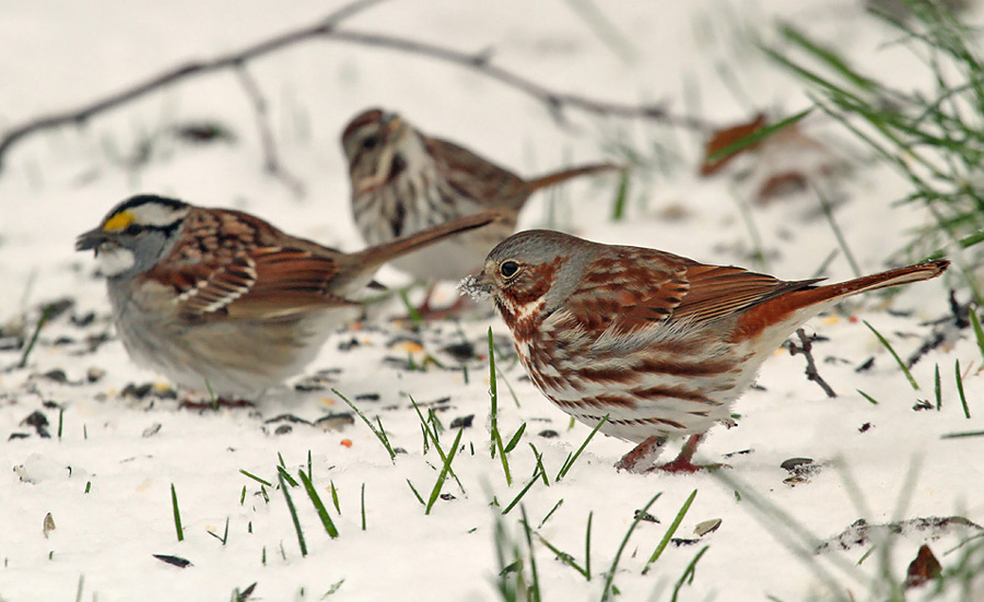 Clear snow to expose bare ground and offer white millet, cracked corn, and sunflower seed for ground-feeding birds like these fox, white-throated, and song sparrows.  - Photo credit: Ryan Brady