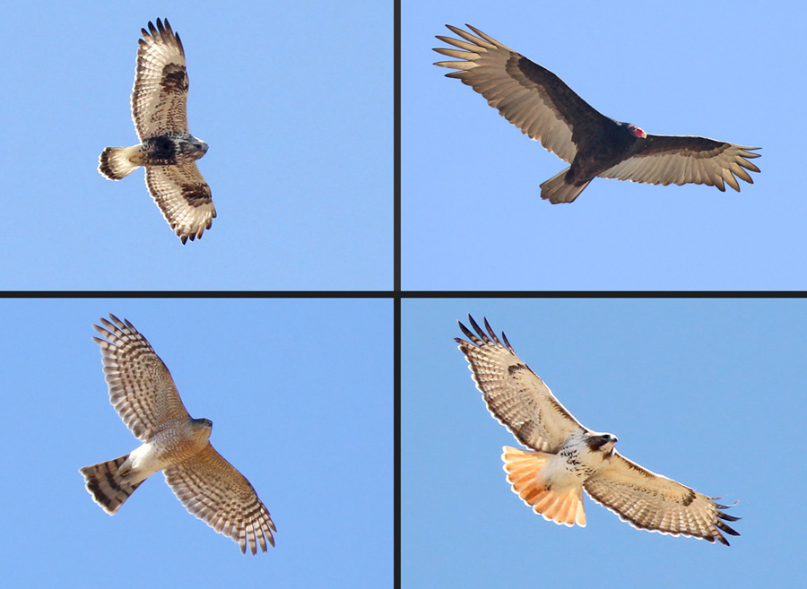 Do you know these four Wisconsin raptors? Now's a great time to look up on sunny or windy days in search of soaring migrants. Clockwise from top right - turkey vulture, red-tailed hawk, sharp-shinned hawk, and rough-legged hawk.  - Photo credit: Ryan Brady