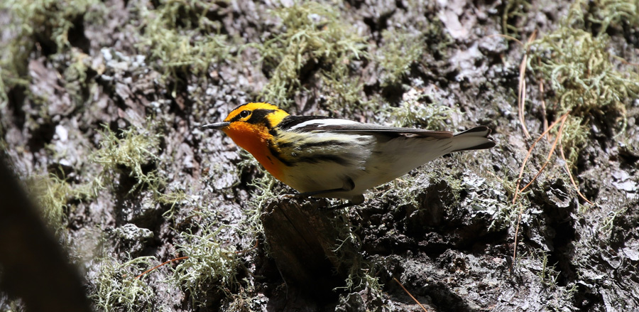 Blackburnian warbler - Photo credit: Michelle Woodford