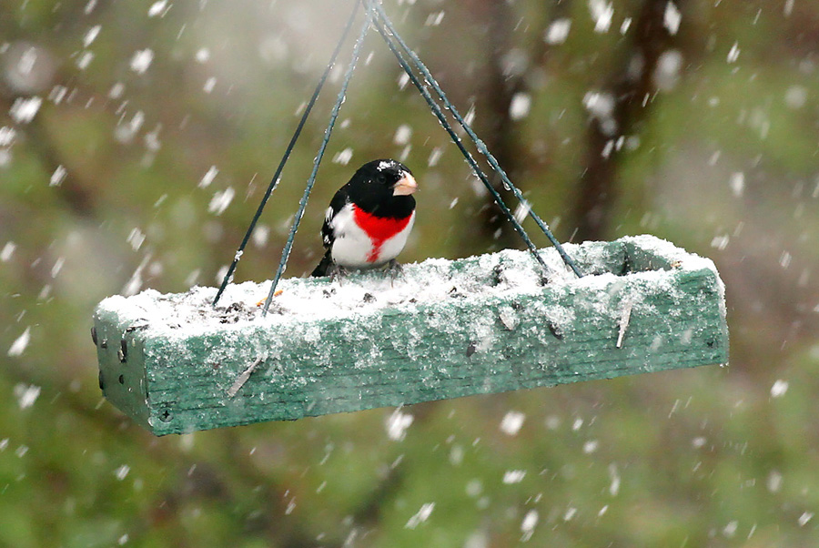 A very late-season snowstorm in far northwest Wisconsin on May 19 provided an unusual wintry backdrop to some of our favorite spring birds, like this rose-breasted grosbeak. Photo by Ryan Brady. - Photo credit: Ryan Brady