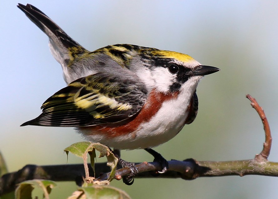 Warbler migration is winding down in most areas. The good news is that Wisconsin hosts roughly 30 breeding species, including the aptly-named chestnut-sided warbler.  - Photo credit: Ryan Brady