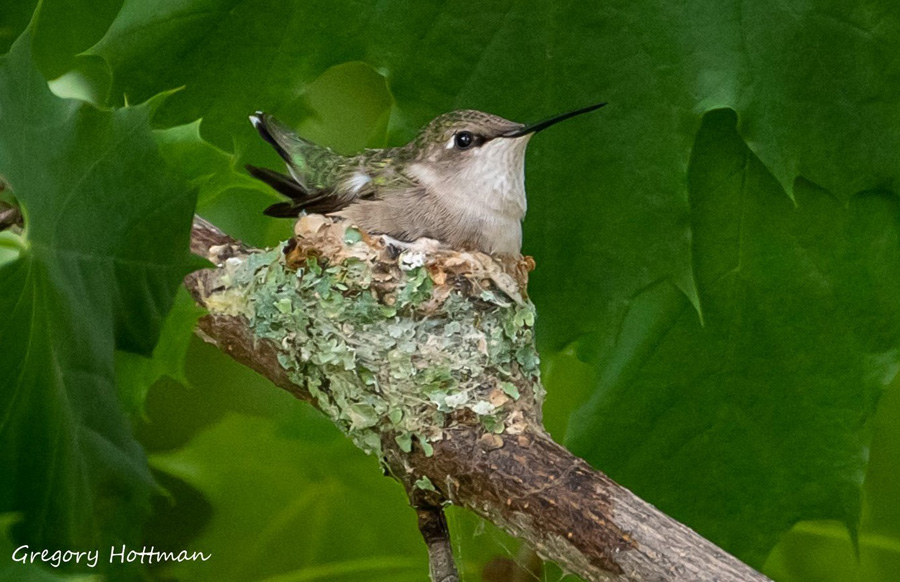 Nests of the ruby-throated hummingbird are only about 2 inches wide and 1 inch deep. The female does all nest building, incubation, and caring for young.  - Photo credit: Greg Hottman