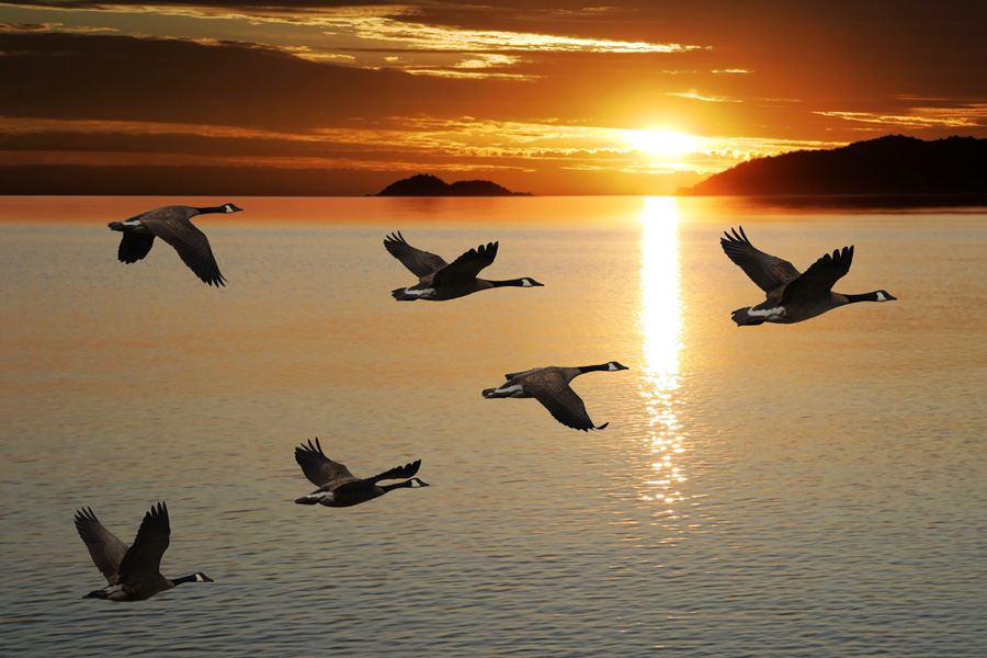 Canada geese migrating. - Photo credit: DNR