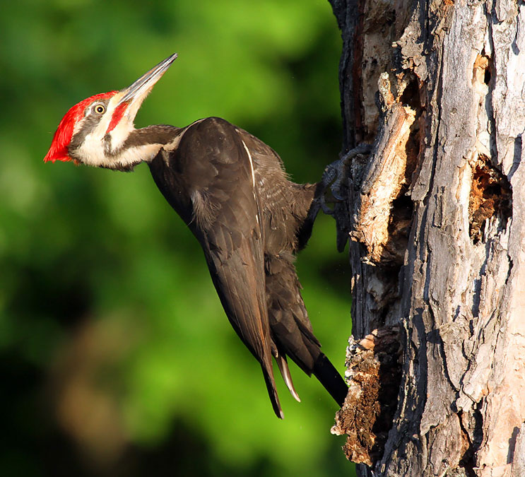 """Pileated"""