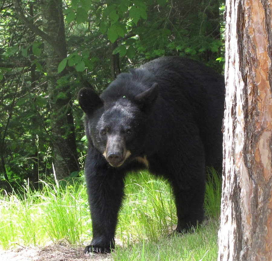 Black bears are emerging from dens and looking for food. - Photo credit: DNR
