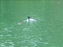 LOONS ON WAUBEE LAKE, OCONTO COUNTY (4)