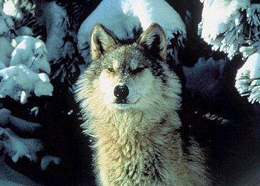 Gray Wolf delisted as endangered species
