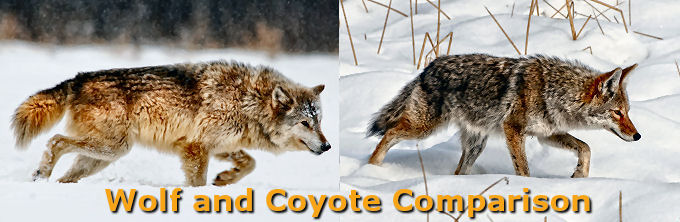 Wolf and Coyote Comparison Slideshow
