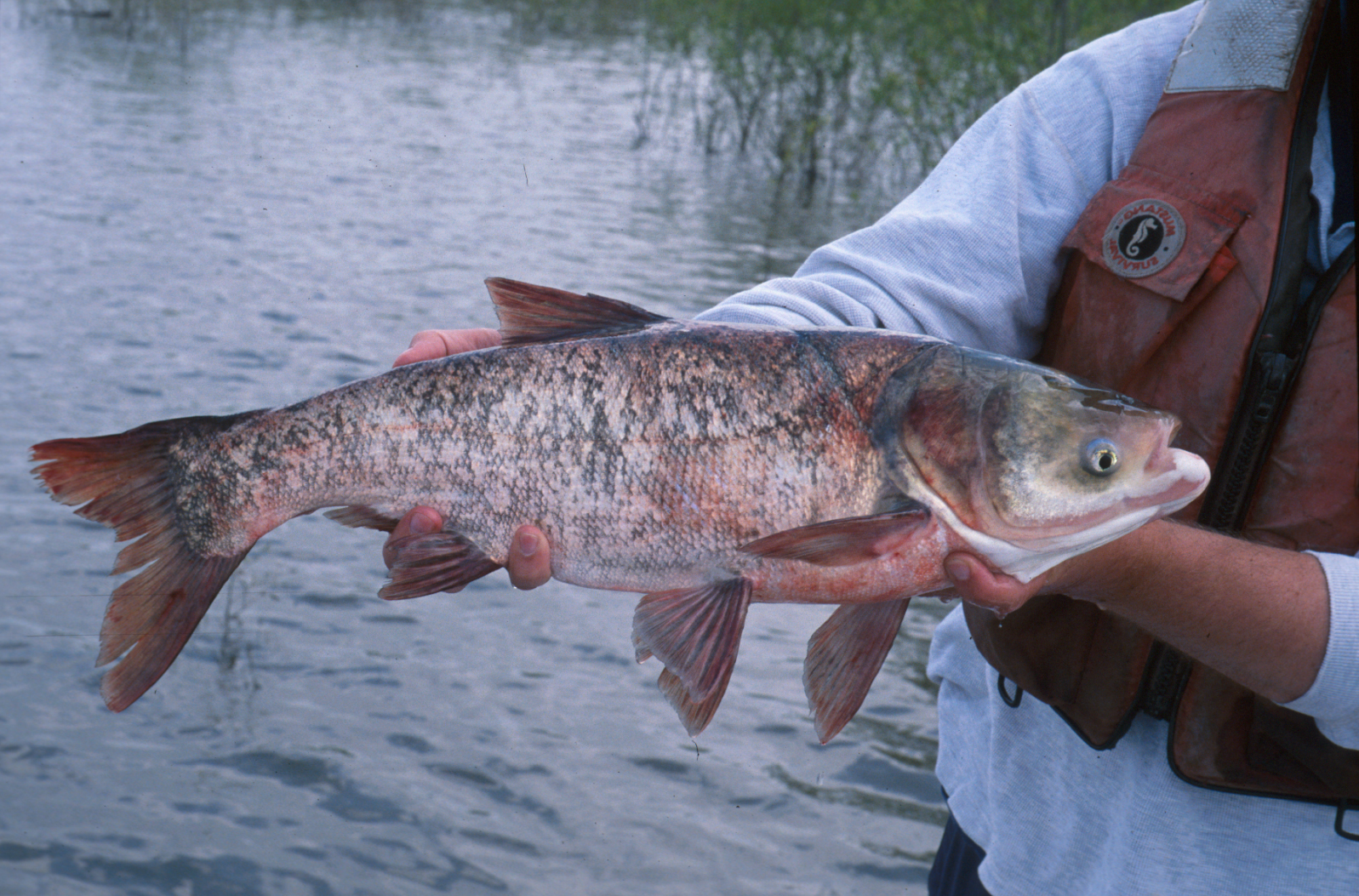 Asian carp leinth