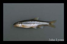 Ozark Minnow photo.