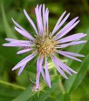 Northwestern Sticky Aster photo.