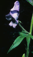 Northern Monkshood photo.