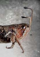 Club-horned Grasshopper photo.