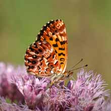 Arctic Fritillary photo.