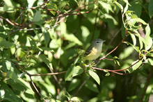 Bell's Vireo photo.