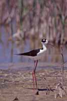 Black-necked Stilt photo.