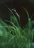 New England Sedge photo.