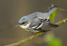 Cerulean Warbler photo.