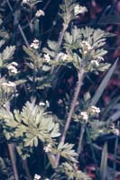Spreading Chervil photo.