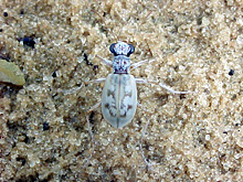 Ghost Tiger Beetle photo.