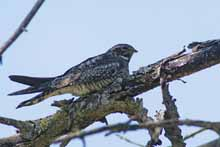 Common Nighthawk photo.
