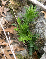 Missouri Rock-cress photo.