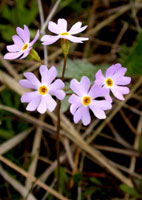 Bird's-eye Primrose Photo by Drew Feldkirchner. Check the photos tab for additional photos.