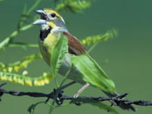 Dickcissel photo.