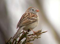Field Sparrow photo.