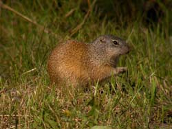 Franklin's Ground Squirrel photo.