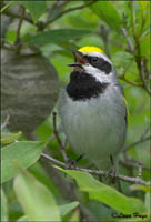 Golden-winged Warbler photo.
