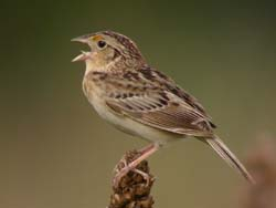 Grasshopper Sparrow photo.