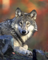 Gray Wolf Photo by Gary Kramer. Check the photos tab for additional photos.