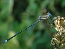 Great Spreadwing photo.