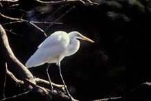 Great Egret photo.