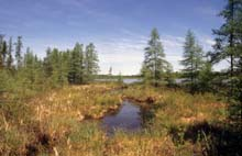 Northern Tamarack Swamp