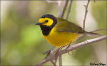 Hooded Warbler photo.