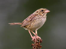 Henslow's Sparrow Photo by Tom Schultz. Check the photos tab for additional photos.