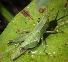 Short-winged Grasshopper photo.