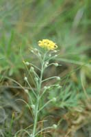 Silver Bladderpod Photo by Emmet Judziewicz. Check the photos tab for additional photos.