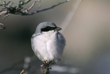 Loggerhead Shrike photo.