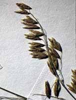 Three-flowered Melic Grass photo.